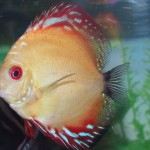 Discus Fish Breeding - Simple Ways to Breed Your Fish