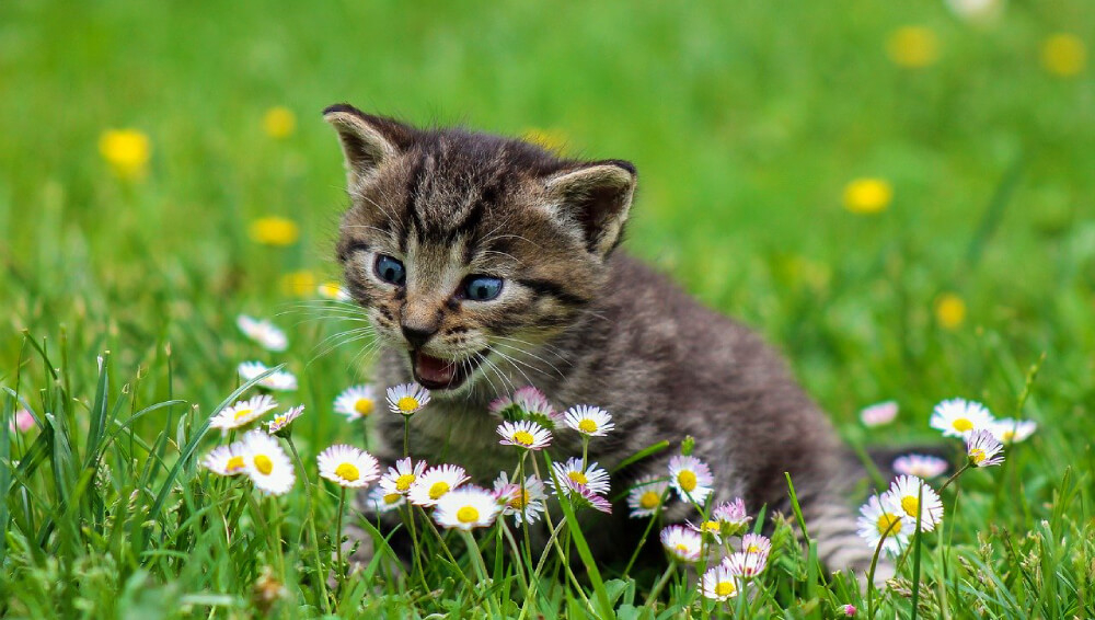 Cat eating daisies in green grass