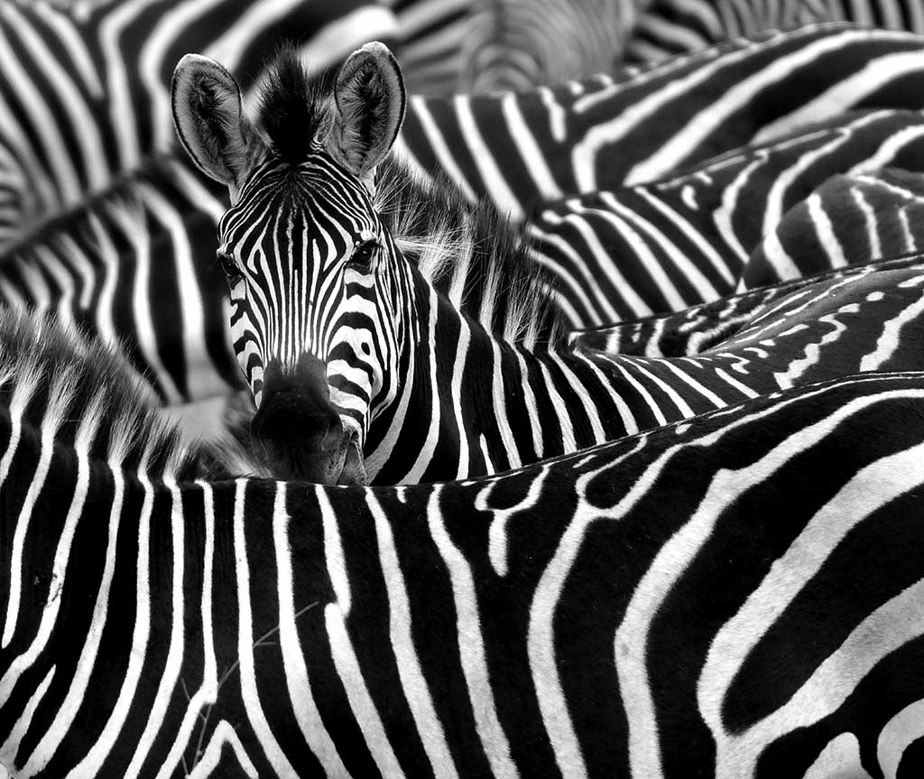Why are Zebras Striped?