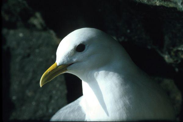 A Kittiwake in close-up