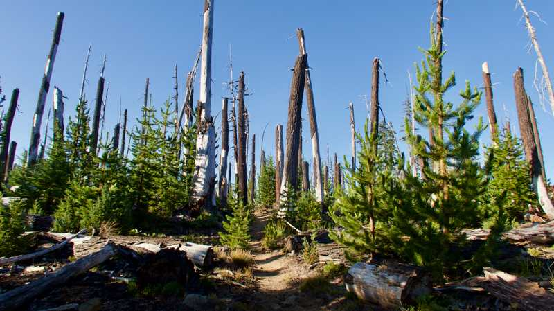 Burnt trees and young trees