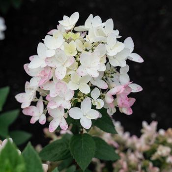 Hi, I'm a Hydrangea pan. Living Touch of Pink. I'm a compact and flowery plant. My white flowers bloom early in the season and gradually turn into soft pink over time. • • • #hydrangea #hydrangeapanciulata #paniculata #pink #touchofpink #hydrangeatouchofpink #livingtouchofpink #pinkhydrangea #horticulture #hydrangealover #gardeninspo #plant #bloemen #hortensien #hortensia #gardenplants #гортензия #растения #цветы #гортензии