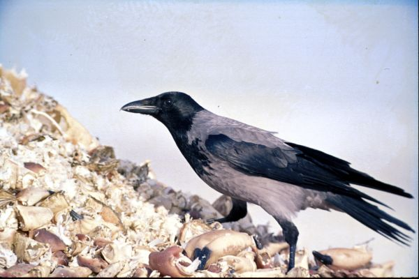 A Hooded Crow on a shell dump