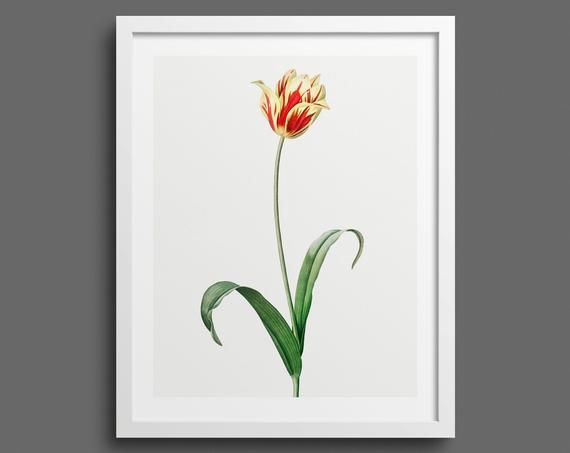 Garden Tulip (Tulipa Gesneriana) by Pierre-Joseph Redouté