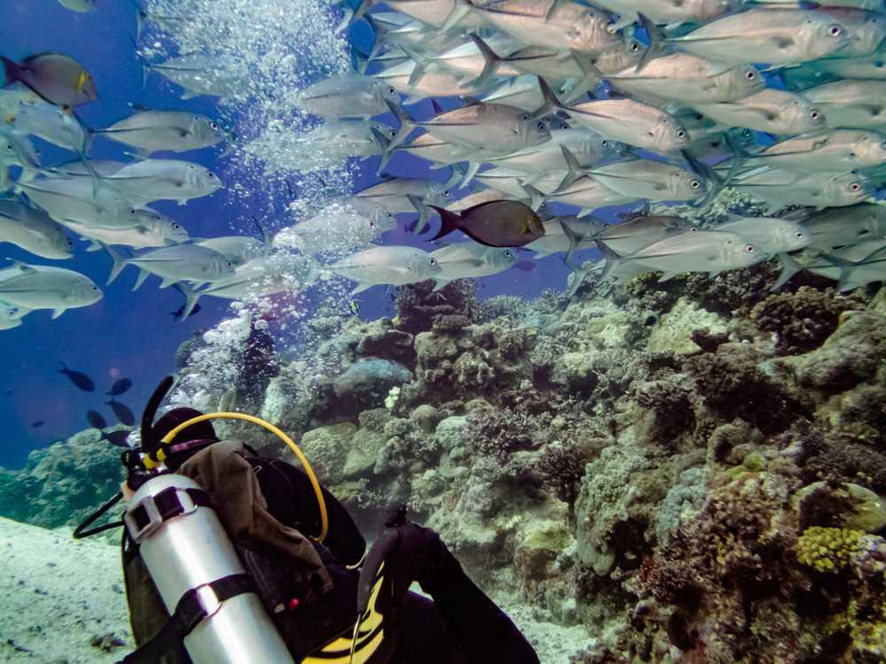Bigeye Trevally, Great Barrier Reef