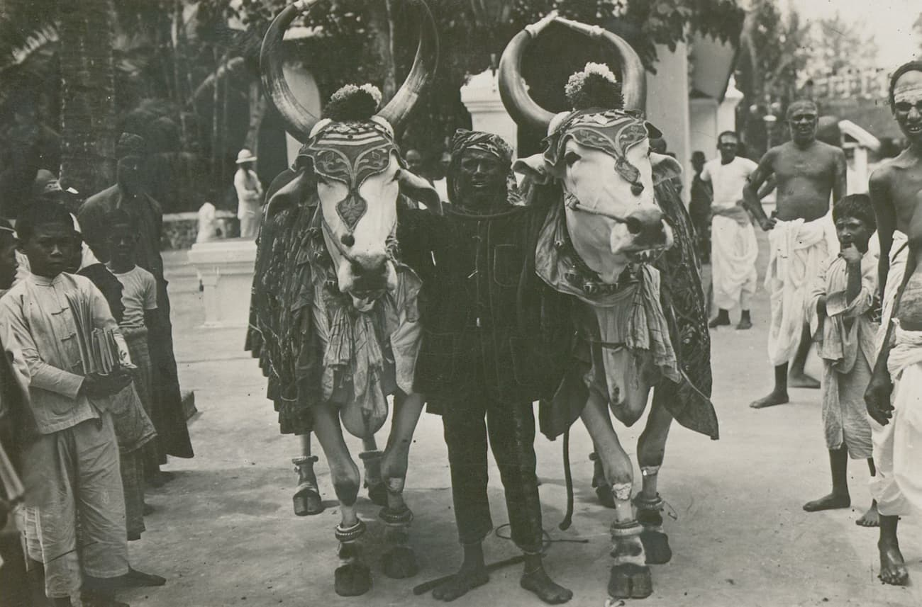 Mattu Pongal, 1915