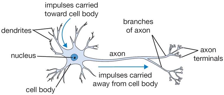 Cấu trúc nơ-ron não người