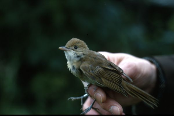 A Thick-billed Warbler in profile