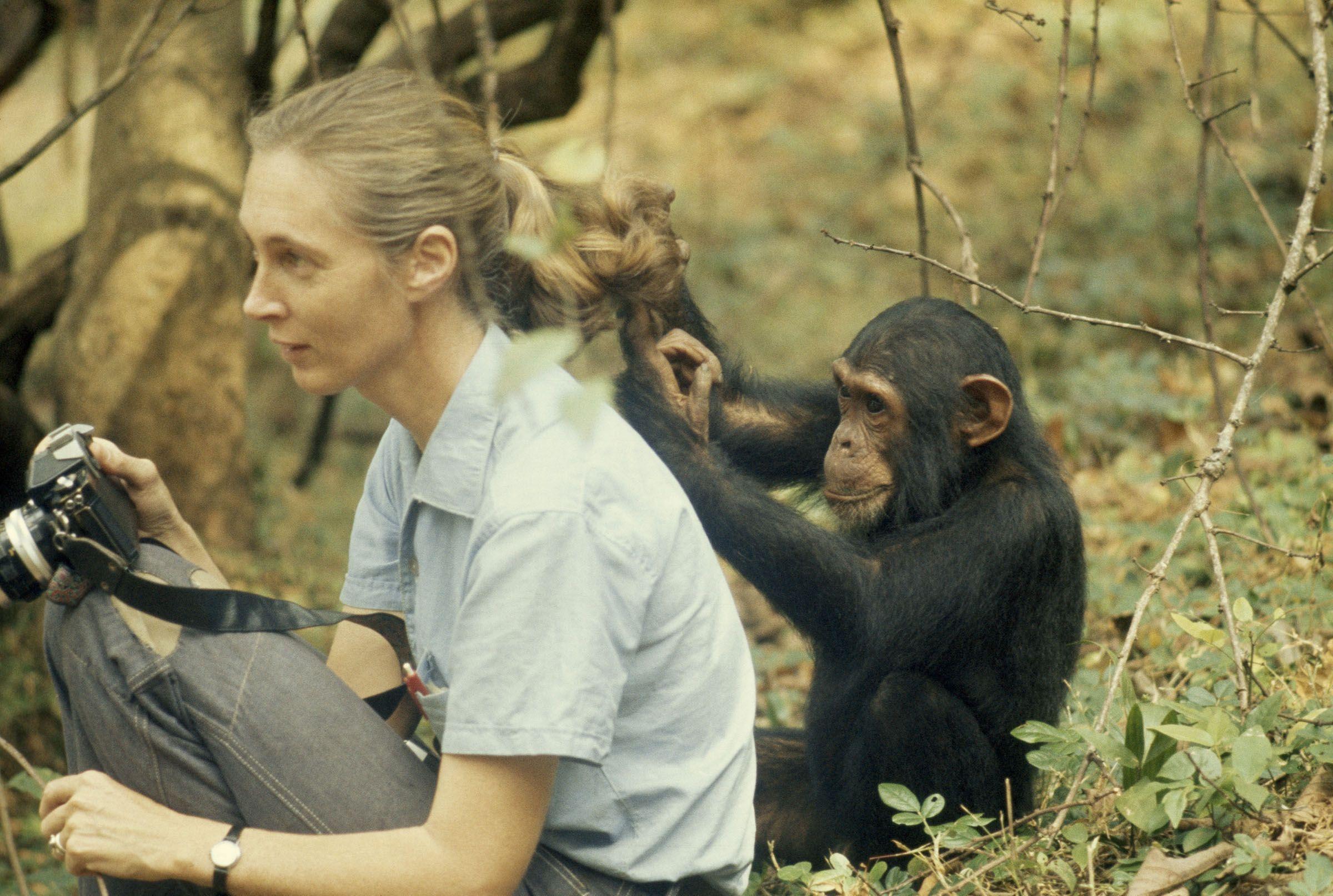 Джейн Гудолл относилась к шимпанзе, как к личностям — этот был назван в честь Фрейда / National Geographic Creative, washtonpost.com
