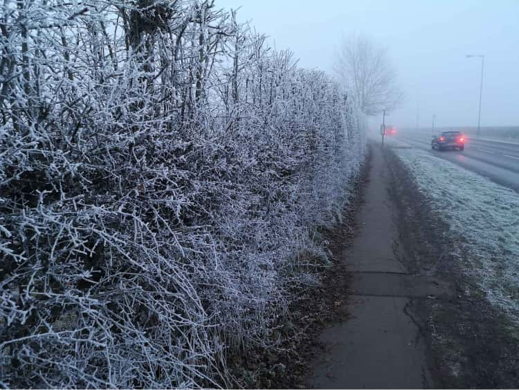 A frost covered hedge beside a muddy concrete path next to a road I walk home on. Two cars are on the road with their lights on, barely visible in the heavy fog.