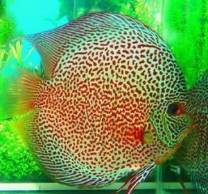 Basic Introduction about Discus Fish