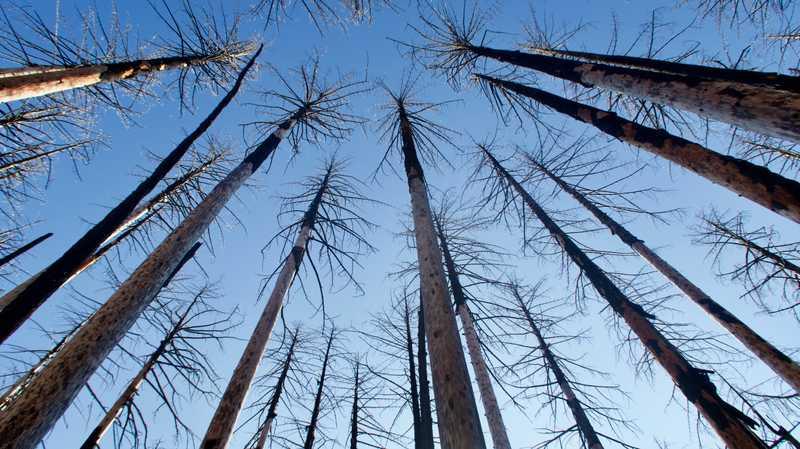Tall, slender, burnt trees