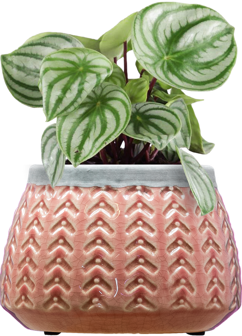 Watermelon Peperomia (Peperomia argyreia ) - from £14