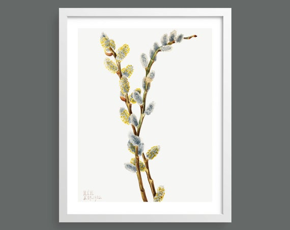 Pussy Willow (Salix Discolor) by Mary Vaux Walcott