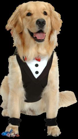 A golden retriever wearing a tuxedo