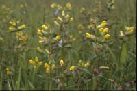 A patch of Yellow Rattle