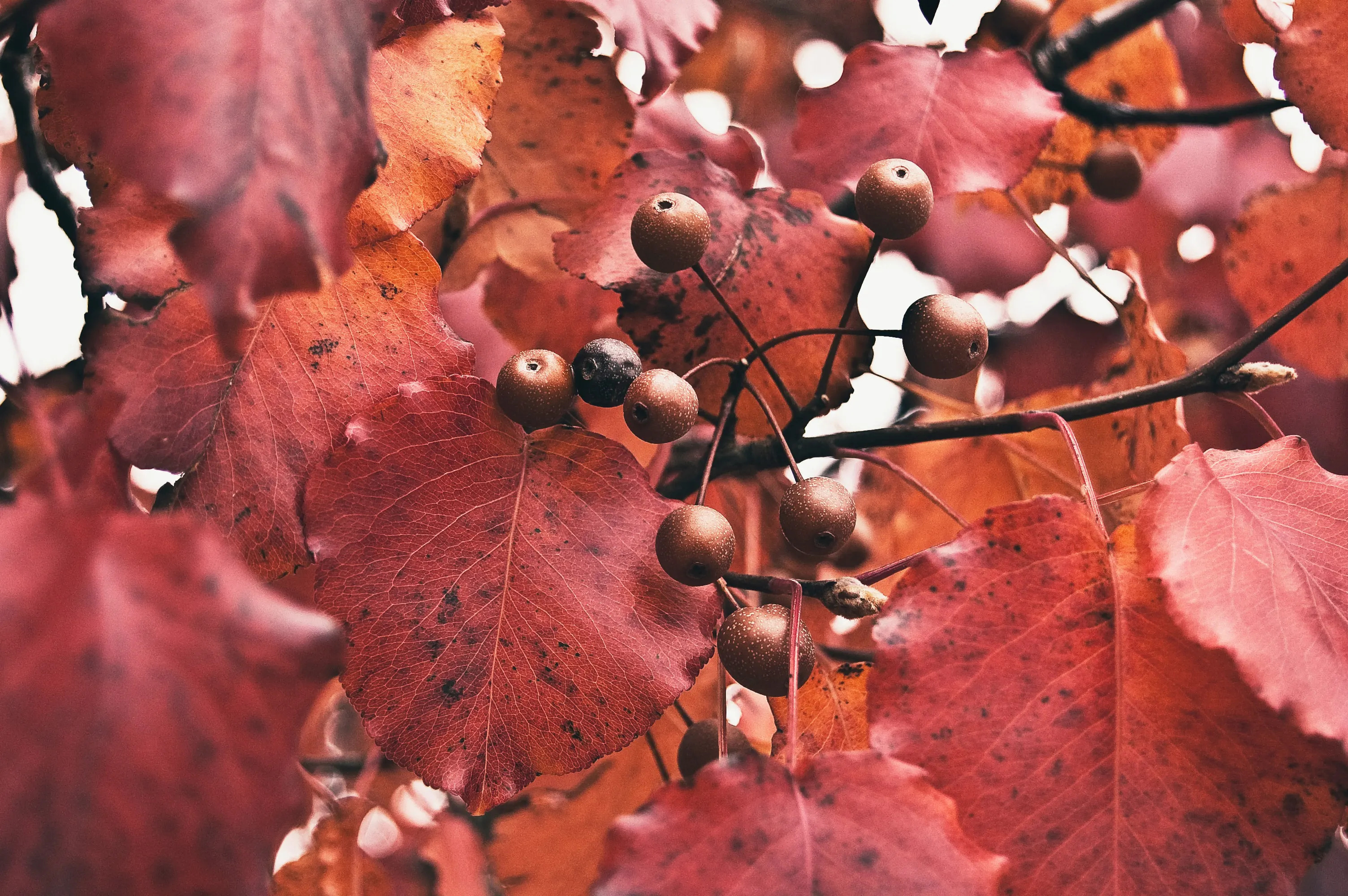 Image of: Bradford Pear tree branches in autumn