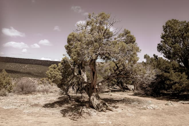 A gnarled juniper in the high mountain desert surrounding the Black Canyon of the Gunnison.