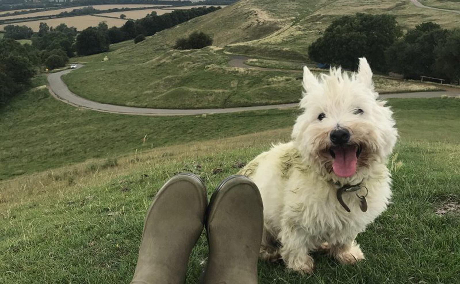 white westminster terrier on the moors