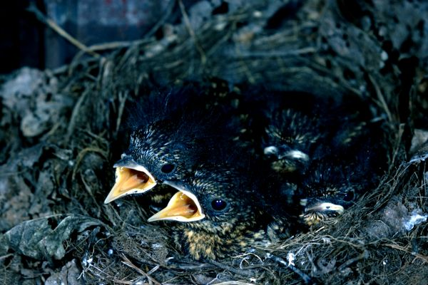 A nest of juvenile Robins