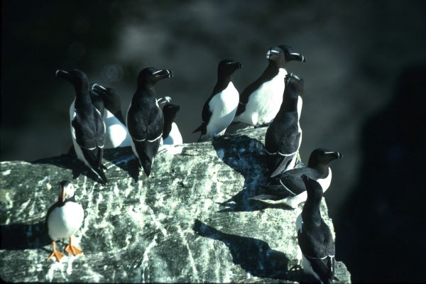 A group of Razorbills are joined by a Puffin