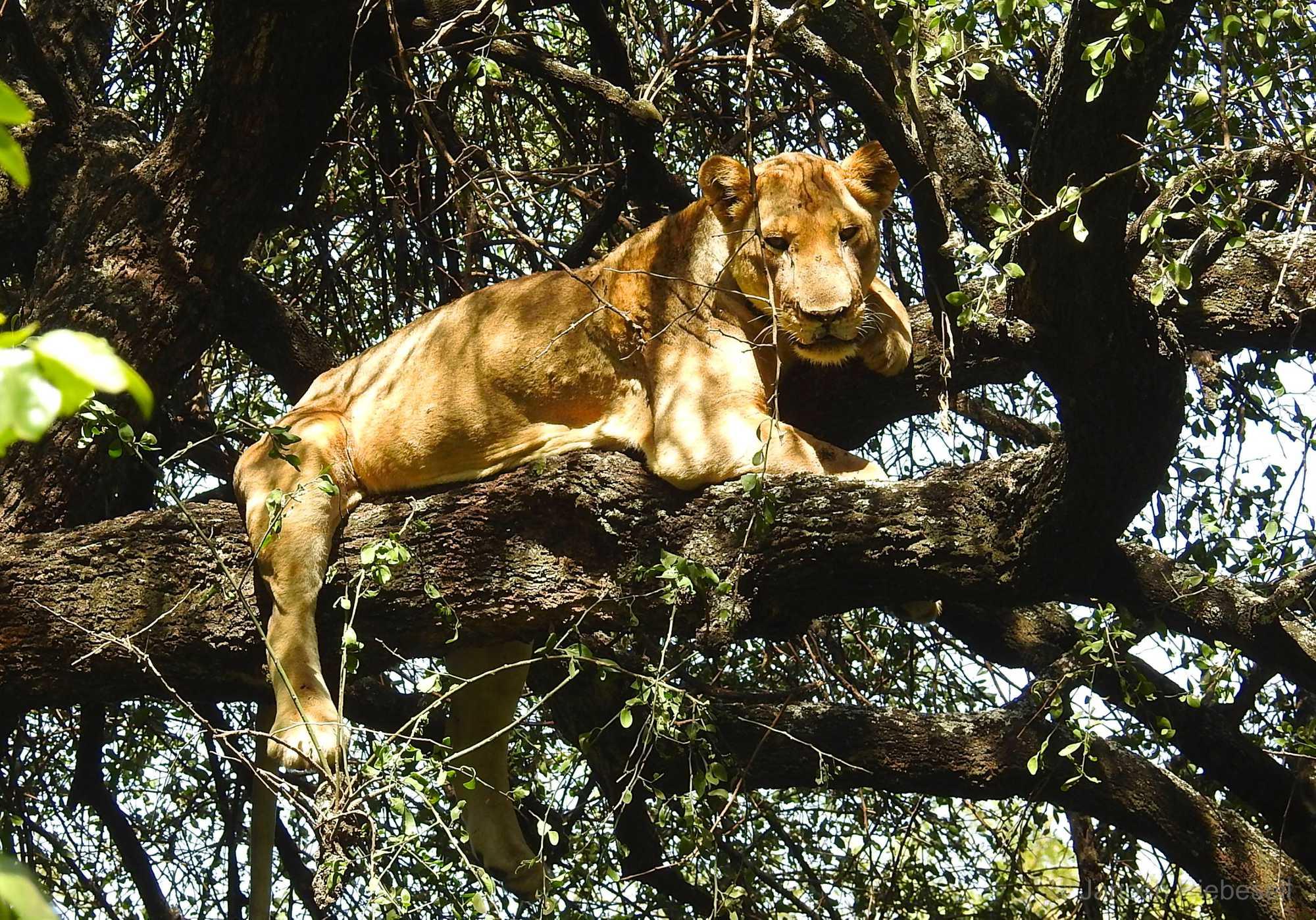 Tanzania Tree Lion