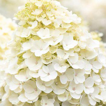 Hi, I'm a Hydrangea pan. Living Little Blossom. I'm a very compact hydrangea with dark green leaves. My white flowers gradually turn to soft pink over time. ✨✨✨ • • • #hydrangea #hydrangeapanciulata #paniculata #white #creme #littleblossom #littleplant #livinglittleblossom #гортензия #растения #цветы #гортензии #white #creme #hydrangealover #livingcreations #plantsofinstagram #hortensien #hortensia