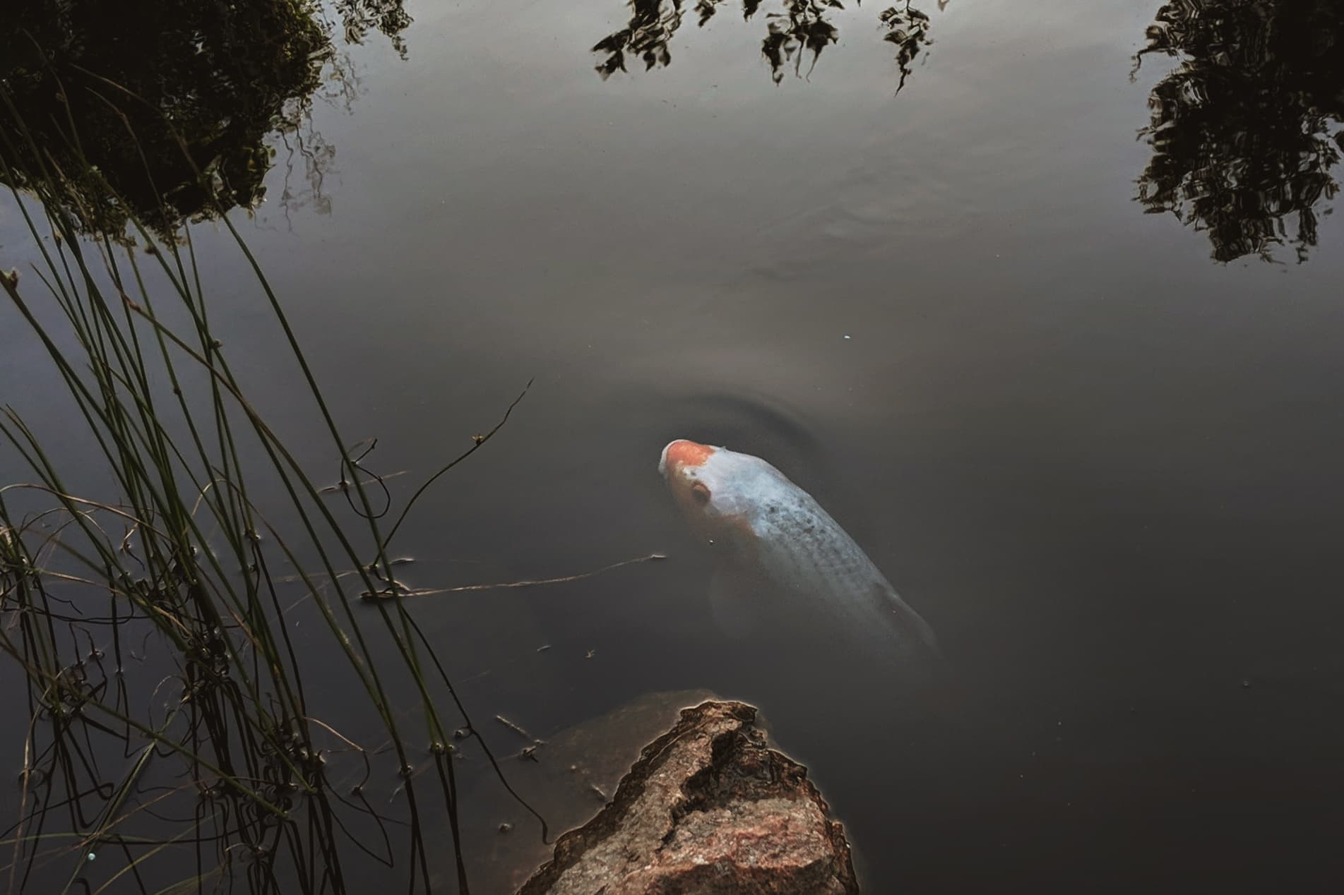 A koi, just below the surface of a pond.