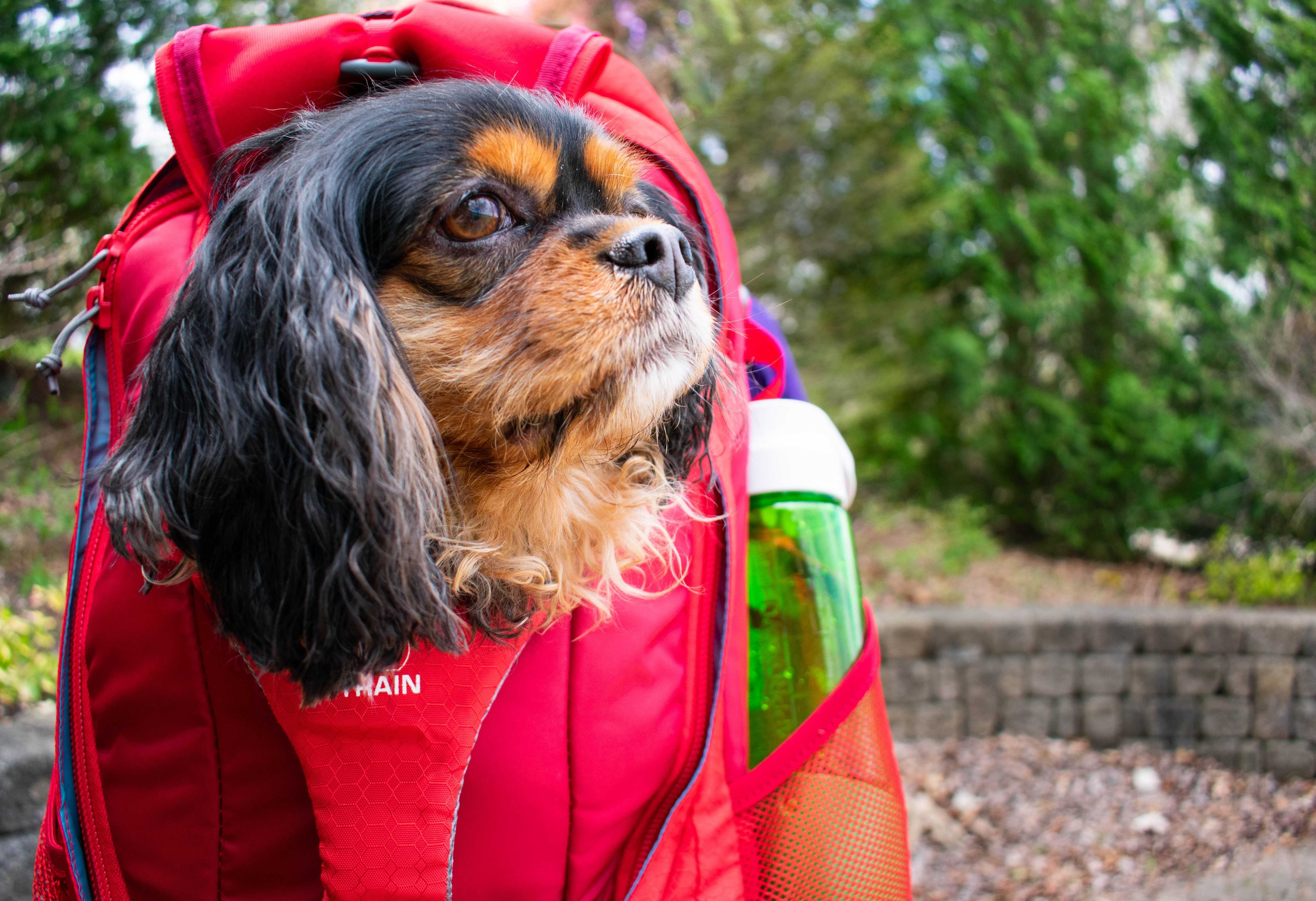 How to Get Your Dog Comfortable in the G-Train Backpack