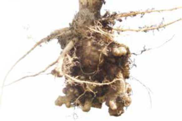 Canola root infected with clubroot
