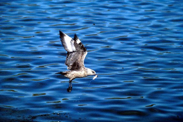A Great Skua in flight