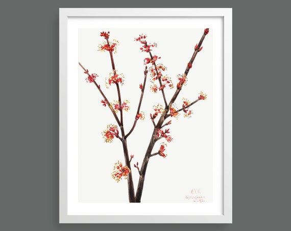Red Maple (Acer Rubrum) by Mary Vaux Walcott