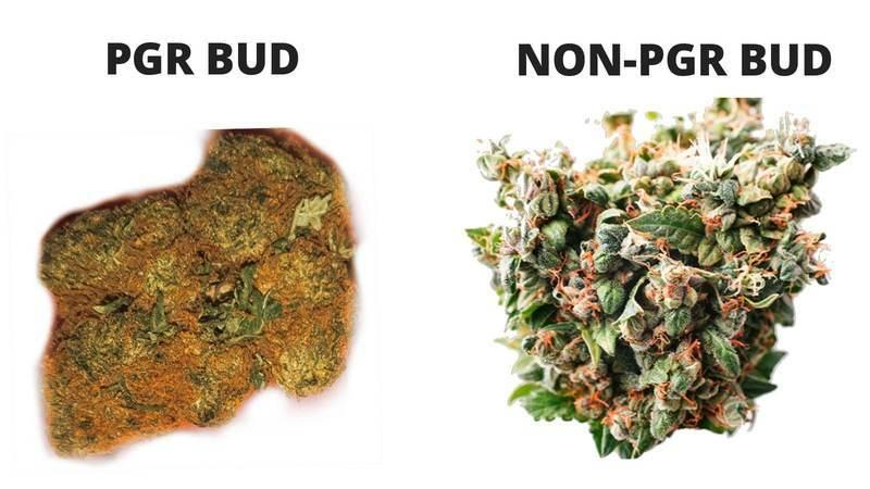 The difference between PGR bud and non-PGR bud