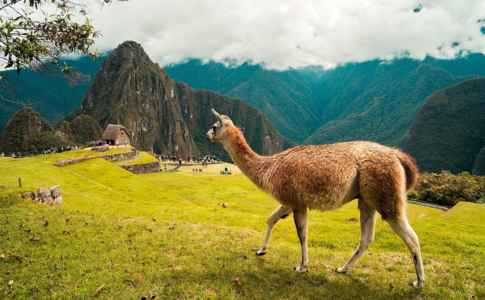 llama walking in the mountain above machu picchu