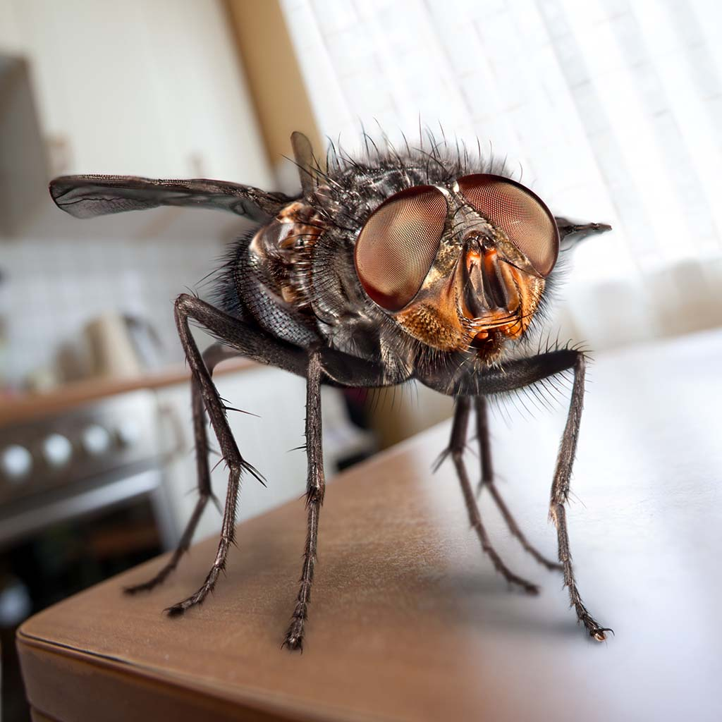 Housefly sits on a table in the kitchen