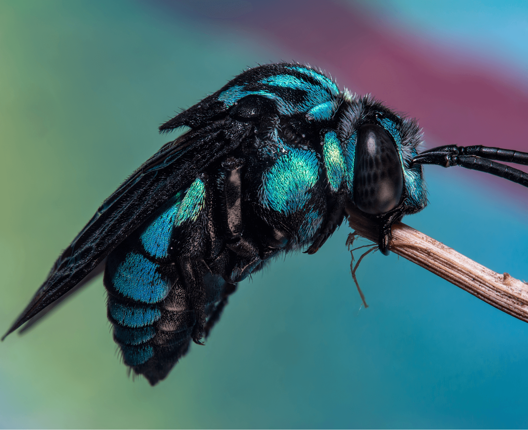 Неоновая пчела-кукушка Thyreus nitidulus. Фото: commons.wikimedia.org