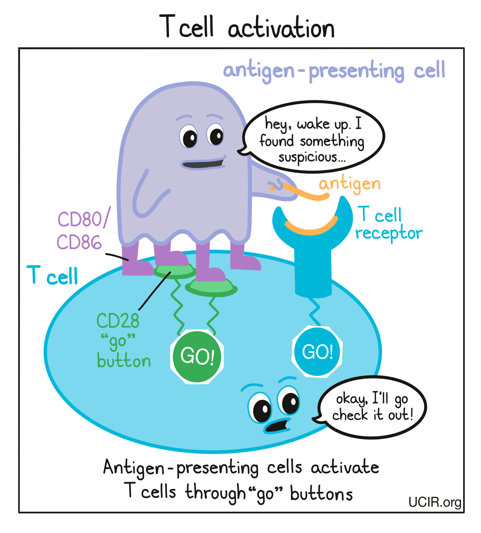 Cartoon that shows how T cell activation works (multiple images)