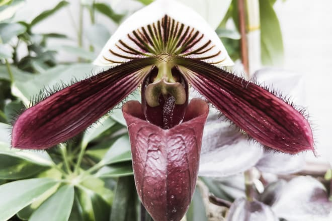 A white and deep purple, pitcher-shaped orchid flower. The edges of the petals are covered in thick hairs.