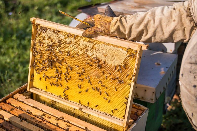Apicultor retirando uma melgueira repleta de mel de dentro de uma caixa de abelhas.
