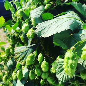 Hops! Freshly picked pilgrim hops from Worcester. Wet hop beer and some greenery for the shop on the way. #hopwalk