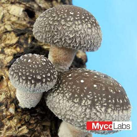 Lentinula edodes | MycoLabs