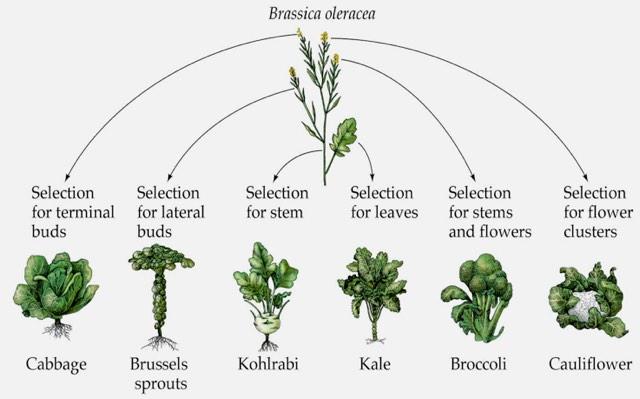1. ábra: A káposzta, a kelbimbó, a karalábé, a kelkáposzta, brokkoli és a karfiol ugyanazon növényfajból, a vadkáposztából (Brassica oleracea) lett kinemesítve. Ezek sem fordulnának elő a természetben az ember nélkül, és ugyanúgy megváltozott a génállományuk (KOTTKE, J. 2013).