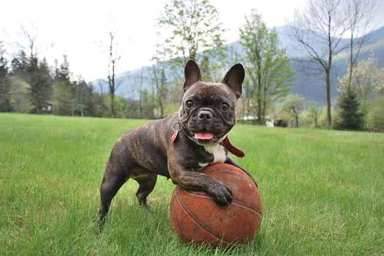Image of a French Bulldog playing with the basketball