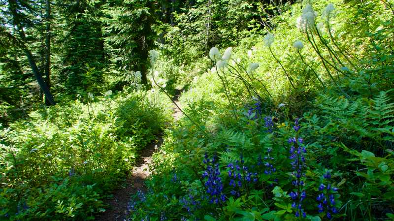 Beargrass and lupines on the trail