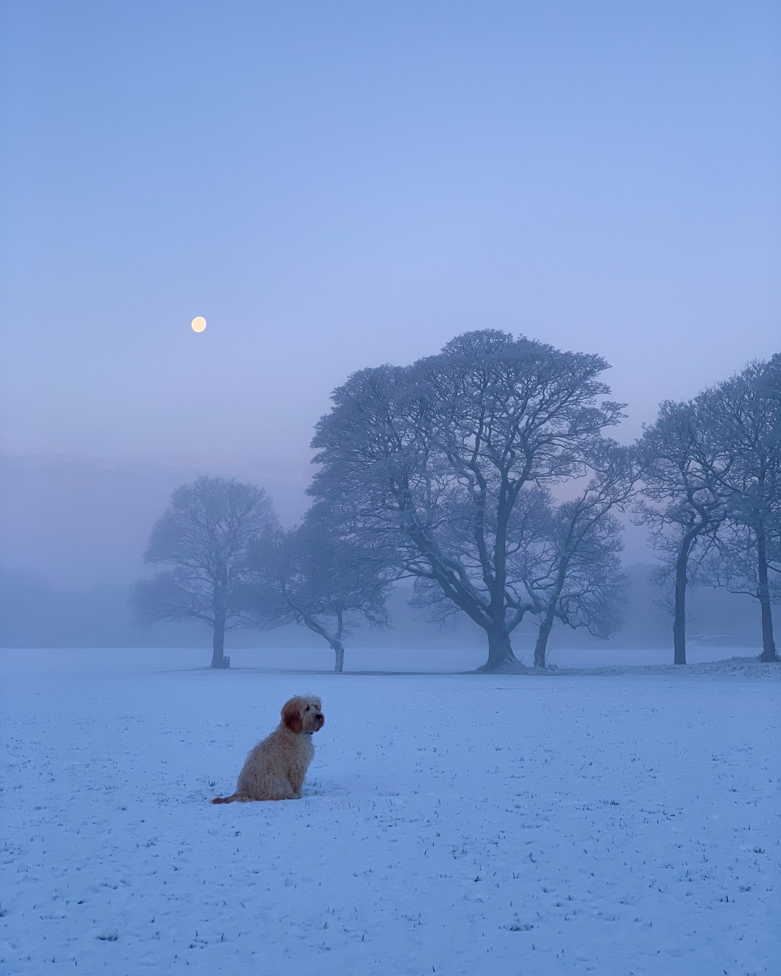 Apricot cockapoo on an early morning in the snow, with trees in the background
