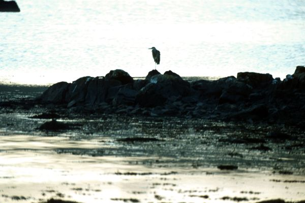 A Grey Heron stands alone