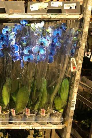 Blauwe orchideeen
