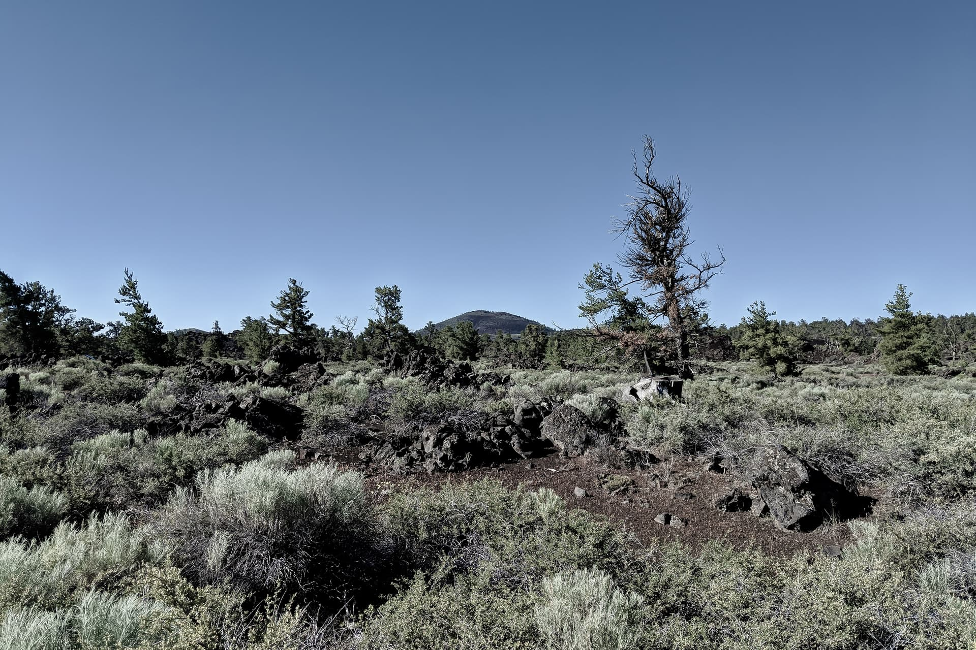 A field of desert scrub growing on an even plain of black volcanic cinders. The scrub is periodically punctuated by dark, twisted pine trees. In the distance, a scrub-covered cinder cone.