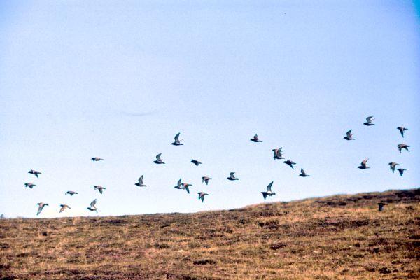 Golden Plovers in flight