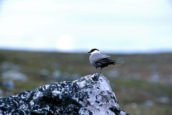 An Arctic Skua keeps watch